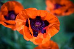 Poppy 1 (Rene_1985) Tags: sony a7 ii ilce voigtländer closefocus leica noctilux 50mm 095 summer sommer mohn poppy blume flower bokeh dof