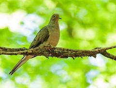 Mourning Dove (Karen_Chappell) Tags: bird nature dove travel ottawa green bokeh branch tree mourningdove stonyswamp ontario canada animal