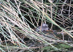 Pied billed grebe on a nest (Victoria Morrow) Tags: