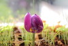 purple_tulip_kitchen (gileshodges) Tags: tulip flower purple