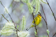 Spring Birds! (hmthelords) Tags: capemaywarbler