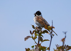Full Throttle (Albie30) Tags: reedbunting rainham bird wildlife