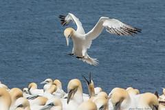Fou de bassan (Morus bassanus) Gaspésie / Canada (francisaubry) Tags: foudebassan canada gaspésie percé bonaventure nikon nikkor bird waterbird nikonflickraward