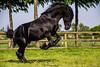 Carlos Fan Stal Ghia (PhotOw'graphie) Tags: cheval animal extérieur équitation horse stallion étalon frison noir black