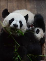 Craquant (Scholt's) Tags: panda giant géant france nikon d7000 zoobeauval zoo beauval parc animalier animal pet noir blanc black white fun love
