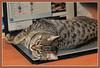 Тёплое местечко (кот Барбос) (SerenitySS) Tags: фауна fauna животное animal кот кошка cat pet млекопитающие mammals ассоциации ассоциация association отдых релаксация relaxation