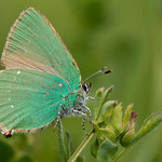 Green hairstreak (Callophrys rubi) thumbnail