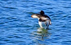 Fuligule morillon (Diegojack) Tags: morges vaud suisse d7200 eau léman bleu canards morillon fuligule arrêtsurimage out
