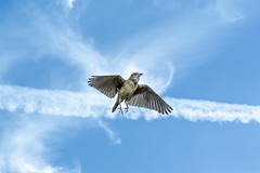 Cloud Nine? (chandra.nitin) Tags: animal bif bird flying nature outdoor paddyfieldpipit wildlife gurugram haryana india