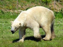 IMG_0051 (duncansmith50) Tags: yorkshirewildlifepark lions polar bears black rhino tigers giraffes doncaster