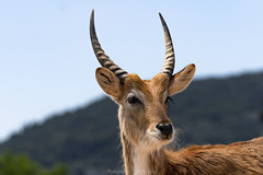 Antelope (Kafue Flats Lechwe) (@Katerina Log) Tags: animal wild wildlife portrait closeup bokeh depthoffield attikazoopark katerinalog mammal nature natura sonyilce6500 fe70200mmf4goss daylight outdoor antelope