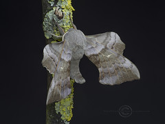 _IMG5337-44 Poplare Hawk Moth  CR (Pete.L .Hawkins Photography) Tags: poplar hawkmoth laothoe populi petehawkins petelhawkinsphotography petelhawkins petehawkinsphotography pentax 100mm macro pentaxpictures pentaxk1 fantasticnature fabulousnature incrediblenature naturephoto wildlifephoto wildlifephotographer naturesfinest unusualcreature naturewatcher insect invertebrate bug 6legs compound eyes creepy crawly uglybug bugeyes fly wings eye veins flyingbug flying beetle shell elytra ground