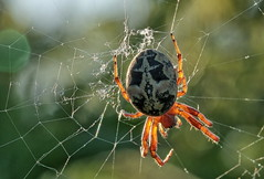 Took a trip to the local lake..Solbjerg .. the hours up to sunset (SonyLeo) Tags: sonya6000 sony90mm28macro summer sunset spider