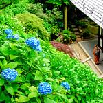 Hydrangea's path of Hasedera Temple, Kamakura : 長谷寺眺望散策路(観音山あじさい路) thumbnail