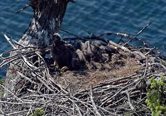 Growing up! (Snixy_85) Tags: eaglets nest baldeagle eagle haliaeetusleucocephalus