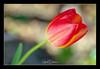 TULIPE (gilbertdorleansphotography) Tags: fleurs montréal canon canonlens flora flowers garden jardin macro macrophotography montreal nature photo photographe photographie photography photos printemps spring tulip tulipe