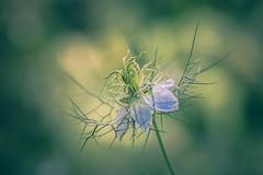 Jungfer (michel1276) Tags: olympus zuiko zuikomacro macro9020 macro kingzuiko bokeh bokehlicious bokehlove manualfocus manuell vintagelens flower flora blume jungferimgrünen