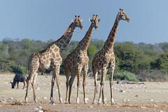 Giraffes in Etosha-4 (johnaalex) Tags: etosha namibia nikonafs80400f4556g d850 giraffe
