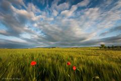Cielo, tierra y luz. (Roberto_48) Tags: cereal cielo luz atardecer amapola trigo cebada