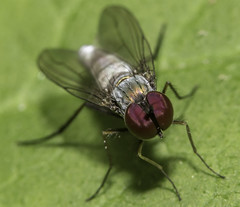 Argyra sp fly (stevenbailey7) Tags: flies diptera nature insects tamron flickr nikon