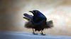 Hold Onto Your Feathers (LupaImages) Tags: grackle bird feathers windy storm fly face beak black nature wild wildlife outside outdoors feet animal
