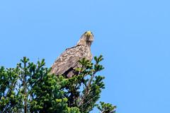 Loch Shiel Sea Eagle (Adam Sibbald) Tags: loch shiel scotland highlands white tailed sea eagle wtse nikon d500 200500 bird prey bop nature wild hunter