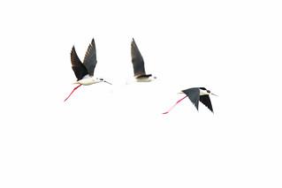 Black-winged Stilt - Stelzenläufer
