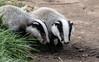 9Q6A9444 (2) (Alinbidford) Tags: alancurtis alinbidford badgercubs brandonmarsh nature wildlife