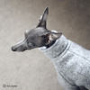 103-1-Sweater Weather-RS (@dora_figalga) Tags: iggywear wooljumper boiledwool 100wool grey outfit madeinlondon handmade occamdogs pet comfortable clothes sweater weather iggysofinstagram iggy sighthound dog bark dogsofinstagram doglove instadog ootd dorafigalga