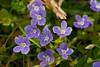 Alpen-24 (filipe_ana.gomes) Tags: schweiz switzerland suiça flores blumen löwenzahn flowers frühling spring