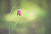 Schachbrettblume (michel1276) Tags: schachbrettblume checkerboardflower flower blume pflanze frühling spring a7iii sonya7iii hexanon konica 13525