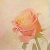 Happy Friday (BirgittaSjostedt) Tags: rose blossom flower closeup plant garden nature card beauty droplets drop texture