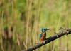 Happy Earth Day! (Marc Haegeman Photography) Tags: kingfisher ijsvogel earthday vogels birds nikond750 marchaegemanphotography nature natuurpunt vlaanderen alcedoatthis commonkingfisher outdoor bird tree branch