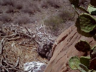 eaglets at the ladder nest