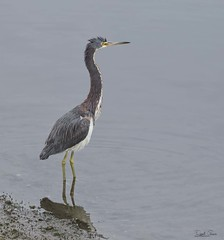 _J3A0850 7D Mark ll Tamron 150-600mm G2 Tricolored Heron (greaves_russell) Tags: bigmorongocanyonpreserve boxcanyonrd nature animals fitness travel sprint overstock people music flickr dancingwiththestars games oops bing foxnews espn cars target bestbut bolsachicawetlands wildlife jobs locations typesofclothing professions days hours minutes dog cat fish bird cow moon world earth forest sky plant wind flower amazon ocean river mountain rain snow tree sanjoaquin anzaborrego huntingtonbeach disneyland knottsberryfarm sandiego forsterstern landscapewhitewater civilwarreenactment