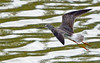 Lesser Yellowlegs flying at the pond (ctberney) Tags: lesseryellowlegs tringaflavipes flying shorebird water pond nature