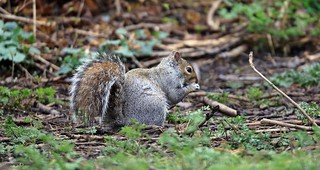 Grey Squirrel J78A0228