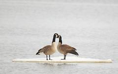 Seuls sur leur île... (alainmaire71) Tags: oiseau bird anatidae brantacanadensis bernacheducanada canadagoose nature quebec canada