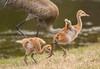 I Believe I Can Fly (AngelaC2009***) Tags: 2018 spring march florida riverview backyard backyardwildlife birds sandhillcranes sandhillcranecolts babybirds canoneosdigitalrebelxt