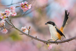 ~ Black-headed shrike | 棕背伯勞 ~