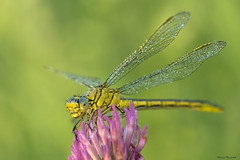 322. (stodiPm) Tags: dragonfly macro macrophotography macrounlimited flower colourfull sony sony77ii sonyalpha sonypolska tamron naturallight naturallightmacro