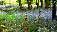 Into the blue (moniquerebanks) Tags: bluebells labradoodle forest walt bos jacinto hyazinthe boshyazinth glockenblumen bloemen flowers wildehyazinth jacinthedesbois bloementapijt nature natuur dog hond natura nikond7100 blue blumen fiori flores