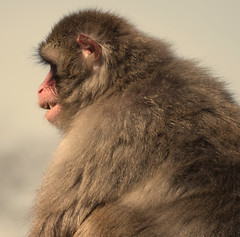 I am not as soft as I look (eric zijn fotoos) Tags: artis holland aap zoo nederland natuur fauna dier monkey nature noordholland sonyrx103 dierentuin animal