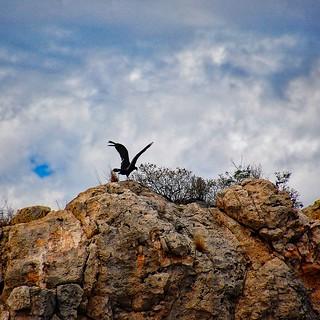 Vulture practicing Tai Chi