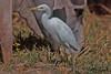 CATTLE  EGRET // BUBULCUS  IBIS  (53cm) (tom webzell) Tags: naturethroughthelens