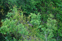DSC00586.jpg (joe.spandrusyszyn) Tags: gruiformes unitedstatesofamerica limpkin paynespraire vertebrate nature bird aramus aramidae florida gainesville byjoespandrusyszyn aramusguarauna animal