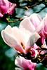 Magnolia Dreams (barbara_donders) Tags: bloesem blossom natuur nature lente spring tree boom magical beautifull mooi prachtig bokeh macro flowers bloemen