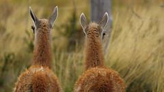 Long eyelashes (nisudapi) Tags: mammal wildlife eyelashes woolly 2018 southamerica chile patagonia torresdelpaine nationalpark hike walk trail patagon patagontrail guanaco