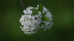 Blossom (florianciorcasel) Tags: blossom flowers spring nikond5300 tamron 70300 dof bokeh closeup vignete