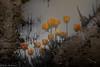 After the rain (Maria Echaniz) Tags: tulipfestivalwoodburn tulips puddle water aftertherain mud flowers reflections spring springrain rainyday oregon usa nature naturaleza tulipanes
